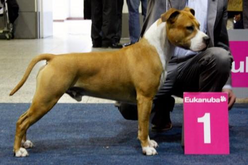 American Staffordshire Terrier Parastone'S Dollar Bill (Jay) - Europasieger'10