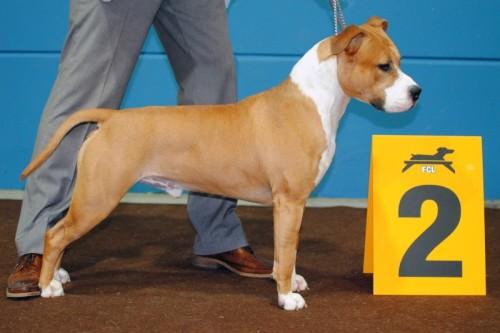 American Staffordshire Terrier Parastone'S Dollar Bill (Jay) - Luxemburg'10