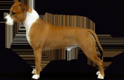 American Staffordshire Terrier Parastone'S Dollar Bill (Jay)