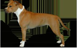 American Staffordshire Terrier Parastone'S Plan Bee (Jazz)