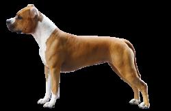American Staffordshire Terrier Parastone'S Little Bit of Spice (Kyana)