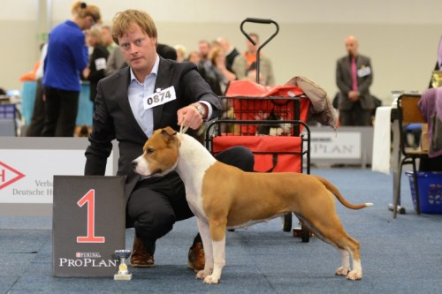 American Staffordshire Terrier Parastone'S Designed With Love (Lilly) - Europasieger'14