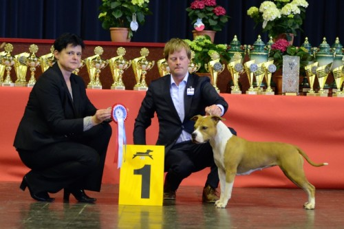 American Staffordshire Terrier Parastone'S Designed With Love (Lilly) - Luxemburg'14