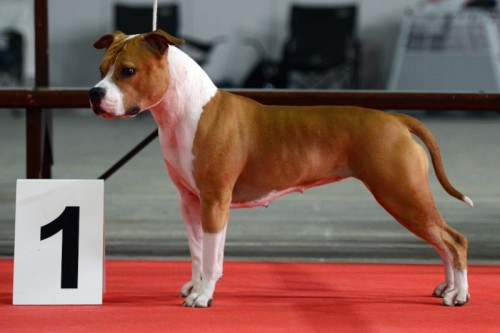 American Staffordshire Terrier Parastone'S Designed With Love (Lilly) - Wieze'14