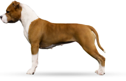 American Staffordshire Terrier Parastone'S Designed With Love (Lilly)