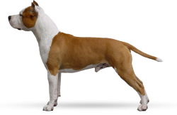 American Staffordshire Terrier Parastone'S Just Call Me Lucky (Lucky)