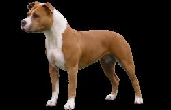 American Staffordshire Terrier Parastone'S Creamy Cappuccino (Nala)