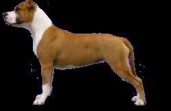 American Staffordshire Terrier Parastone'S Miss Poco Dot Com (Nicky)