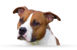 American Staffordshire Terrier Parastone'S Millennium Dragon (Spike)