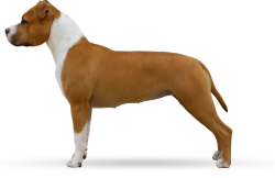 American Staffordshire Terrier Parastone'S Hello Dolly (Stella)