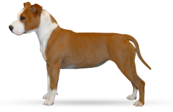 American Staffordshire Terrier Parastone'S Bullit Girl (Sue)