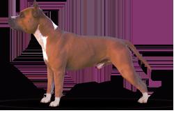 American Staffordshire Terrier Parastone'S Nobel Patriot (Teddy)