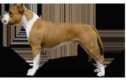 American Staffordshire Terrier Parastone'S Ready Steady Go (Thyra)