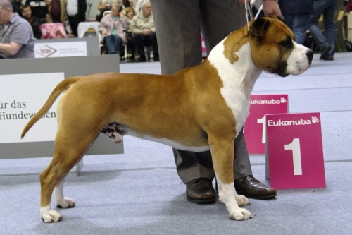 American Staffordshire Terrier Parastone'S Dont Pull The Trigger (Trigger) - Luxemburg Terrier'10
