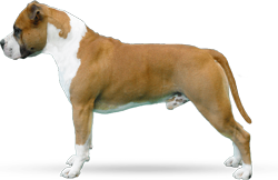 American Staffordshire Terrier Parastone'S Don't Pull The Trigger (Trigger)
