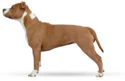 American Staffordshire Terrier Parastone'S Nothing But (Trouble)