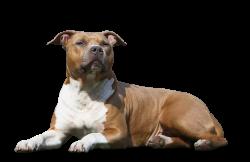 American Staffordshire Terrier Parastone'S Irresistible Jewel (Vana)