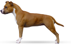 American Staffordshire Terrier Parastone'S Ready Aim Fire (Whoopie)
