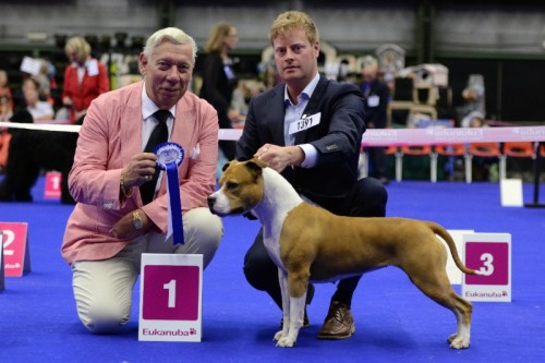 American Staffordshire Terrier Parastone'S Designed With Love (Lilly) - Genk'14