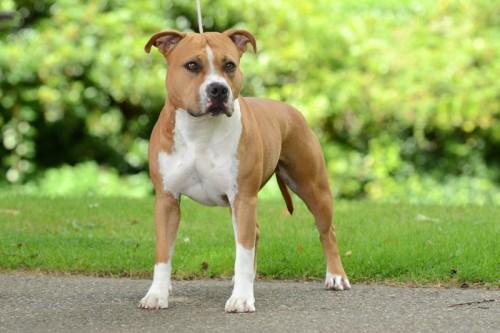 American Staffordshire Terrier Parastone'S Hello Dolly (Stella) - Roermond'14