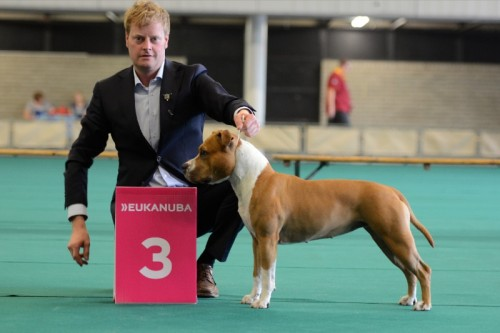 American Staffordshire Terrier Parastone'S Hello Dolly (Stella) - Rotterdam'14