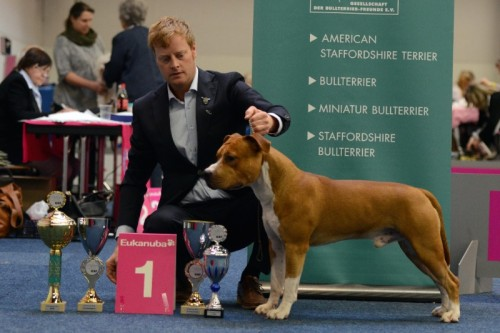 American Staffordshire Terrier Parastone'S Easy Does It (Easy) - Herbst-Jugendsieger'14