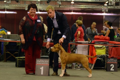 American Staffordshire Terrier Parastone'S Easy Does It (Easy) - Zwolle'14