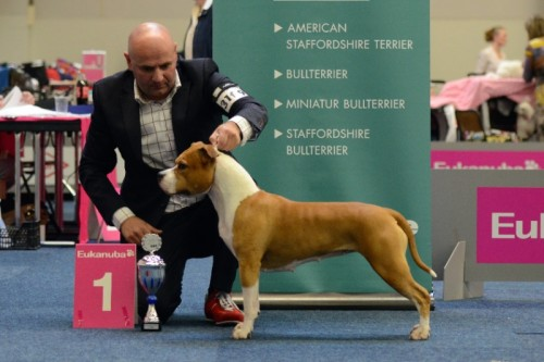American Staffordshire Terrier Parastone'S Designed With Love (Lilly) - Bundessiegerin'14