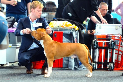 American Staffordshire Terrier Parastone'S Easy Does It (Easy) - Karlsruhe'14