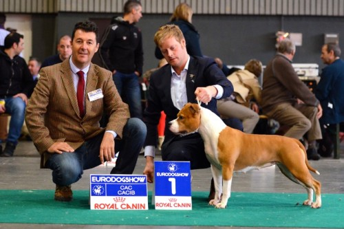 American Staffordshire Terrier Parastone'S Designed With Love (Lilly) - Kortrijk'14