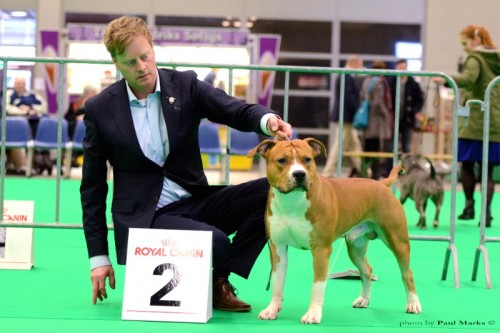 American Staffordshire Terrier Parastone'S Easy Does It (Easy) - Groningen'15