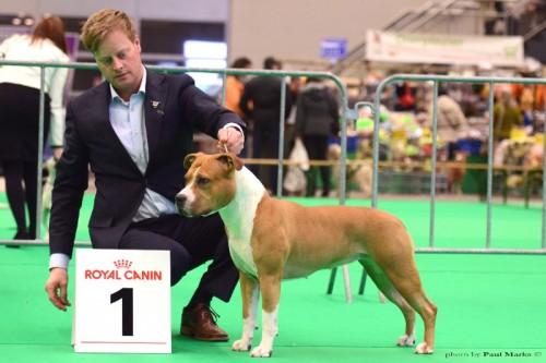 American Staffordshire Terrier Parastone'S Hello Dolly (Stella) - Groningen'15