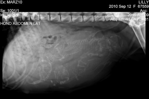 American Staffordshire Terrier Parastone'S embryo's