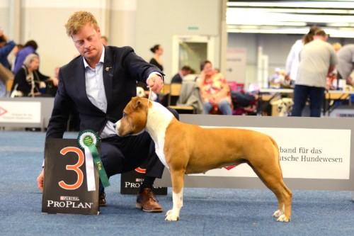 American Staffordshire Terrier Parastone'S Hello Dolly (Stella) - Europasieger'15