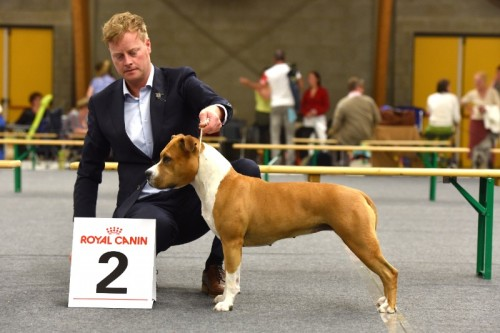 American Staffordshire Terrier Parastone'S Hello Dolly (Stella) - Oss '15