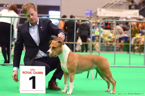 American Staffordshire Terrier Parastone'S Hello Dolly (Stella) - Rotterdam (day2)'15