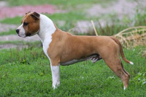 American Staffordshire Terrier Parastone'S Big Red Gum (Dodge)