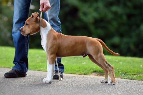 American Staffordshire Terrier Parastone'S Pull Up My Socks (Scotch)