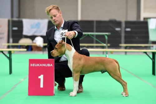 American Staffordshire Terrier Parastone'S Pull Up My Socks (Scotch) - Maastricht'15