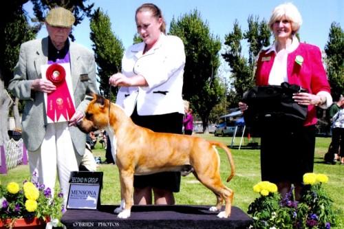 American Staffordshire Terrier Parastone'S Call Me Mon Cheri (Brady) - Vallejo'15