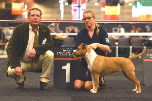 American Staffordshire Terrier Parastone'S Because Its Me (Chili) - IJsselshow Zwolle'15