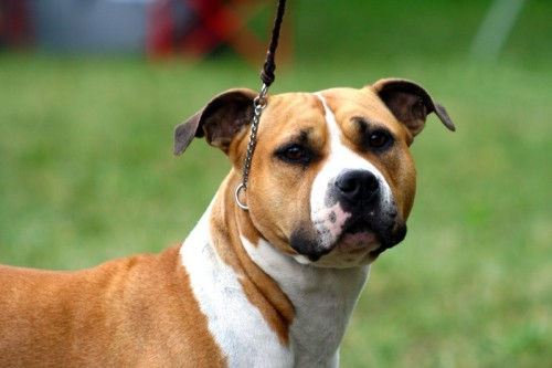 American Staffordshire Terrier Parastone'S Because Its Me (Chili) - Chili - Tuln'15