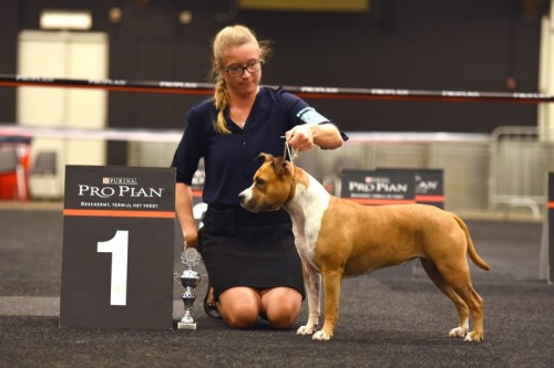 American Staffordshire Terrier Parastone'S Because Its Me (Chili) - Hanzeshow Zwolle'15