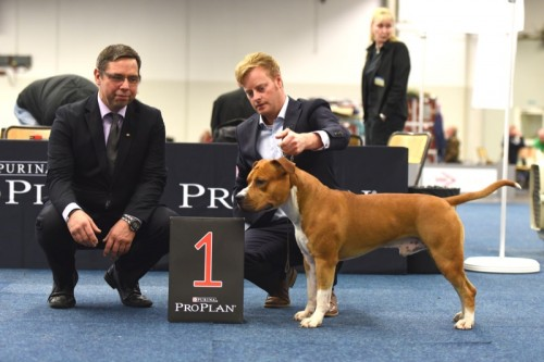 American Staffordshire Terrier Parastone'S Easy Does It (Easy) - Bundessieger'15