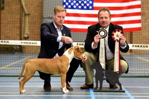 American Staffordshire Terrier Parastone'S Sweet Like Chocolate (Coco) - Asperen'15