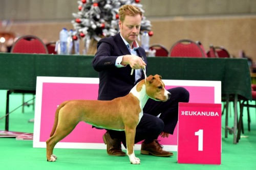 American Staffordshire Terrier Parastone'S Sweet Like Chocolate (Coco) - Amsterdam Winner'15