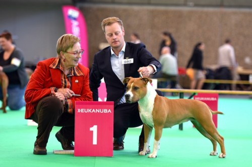 American Staffordshire Terrier Parastone'S Hello Dolly (Stella) - Amsterdam Holland Cup'15