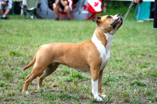 American Staffordshire Terrier Parastone'S Because Its Me (Chili) - Int. Nürenberg'16