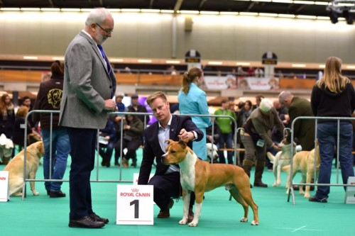 American Staffordshire Terrier Parastone'S Pull Up My Socks (Scotch) - Eindhoven'16