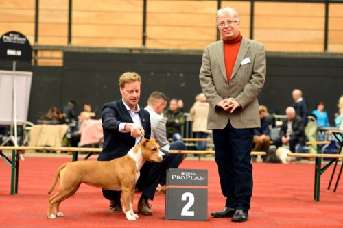 American Staffordshire Terrier Parastone'S Sweet Like Chocolate (Coco) - Groningen'16